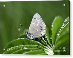Silver Butterfly Acrylic Print