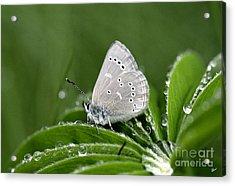 Silver Butterfly Acrylic Print by Alana Ranney