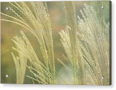 Silver Grass Acrylic Print