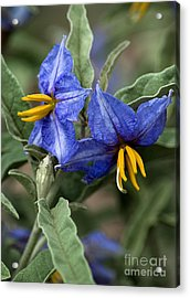 Acrylic Print featuring the photograph Silver Leaf Blooms by Mae Wertz