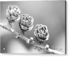 Silver Lining.... Acrylic Print by Nina Stavlund