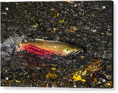 Silver Salmon Spawning Acrylic Print by Doug Lloyd