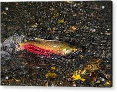 Silver Salmon Spawning Acrylic Print