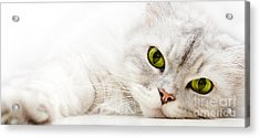 Silver Shaded Persian Acrylic Print by Carsten Reisinger