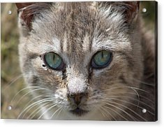 Silver Tabby But What Color Eyes Acrylic Print