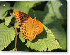 Acrylic Print featuring the photograph Silver-washed Fritillary  - Male - Argynnis Paphia by Jivko Nakev