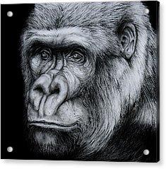 Silverback - A Drawing Acrylic Print