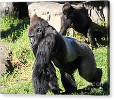 Silverback Gorilla 7d27234 Acrylic Print by Wingsdomain Art and Photography