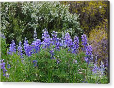 Acrylic Print featuring the photograph Silvery Lupine Black Canyon Colorado by Janice Rae Pariza