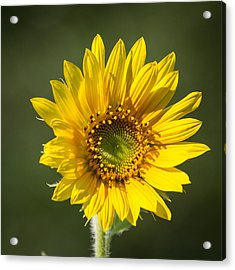 Simple Sunflower Acrylic Print