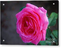 Simply A Rose Acrylic Print by Angela J Wright