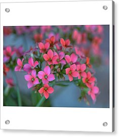 Acrylic Print featuring the photograph Simply Kalanchoe by Penni D'Aulerio