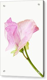 Simply Sweet Pea Acrylic Print by Anne Gilbert