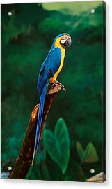 Singapore Macaw At Jurong Bird Park  Acrylic Print by Anonymous