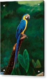 Singapore Macaw At Jurong Bird Park  Acrylic Print
