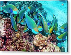 Singapore Parrotfish Acrylic Print