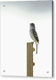 Acrylic Print featuring the photograph Singing Flycatcher by Anita Oakley