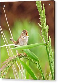Singing For A Companion Acrylic Print