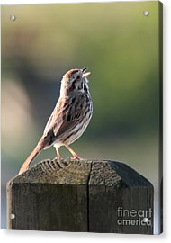 Acrylic Print featuring the photograph Singing Song Sparrow by Anita Oakley