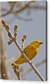 Singing Yellow Warbler Acrylic Print by Natural Focal Point Photography