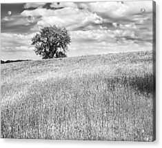Single Apple Tree In Maine Hay Field Photograph Acrylic Print