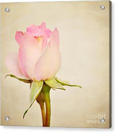 Single Baby Pink Rose Acrylic Print by Lyn Randle