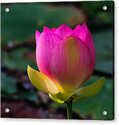 Acrylic Print featuring the photograph Single Blossum by John Johnson