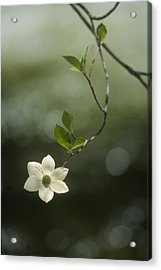 Acrylic Print featuring the photograph Single Dogwood Blossom by Judi Baker