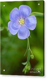 Single Flower Blue Flax Acrylic Print