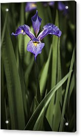 Acrylic Print featuring the photograph Single Iris by Penny Lisowski