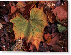 Single Leaf Acrylic Print by Becky Lodes