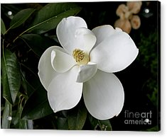 Single Magnolia II Acrylic Print