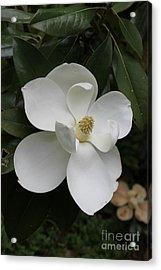 Single Magnolia Acrylic Print