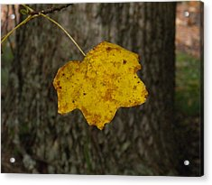 Acrylic Print featuring the photograph Single Poplar Leaf by Nick Kirby
