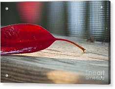 Single Red Leaf Acrylic Print by Terry Rowe