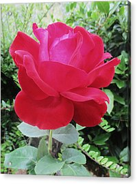 Single Red Rose Acrylic Print by Kathy Spall