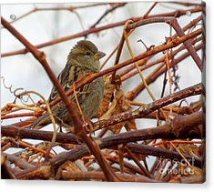 Single Sparrow Standing Acrylic Print by Heidi Manly