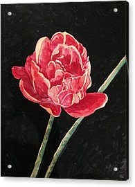 Single Tulip On Black Background Acrylic Print