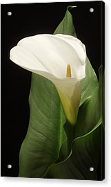 Single White Calla Acrylic Print