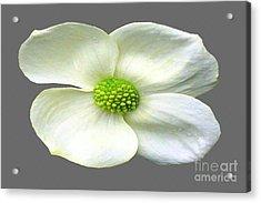 Single White Dogwood Bloom Acrylic Print by Tina M Wenger
