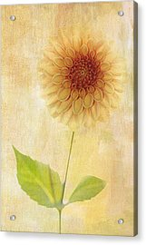 Single Yellow Dahlia Acrylic Print by Rebecca Cozart