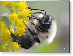Sipping Bee Acrylic Print