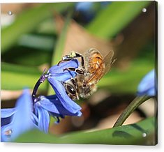 Sipping Upside-down Acrylic Print