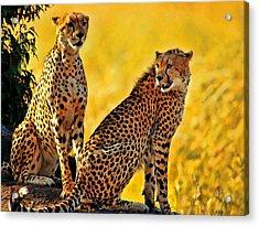 Sister Cheetahs Acrylic Print
