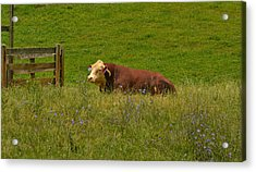 Sitting Cow Acrylic Print