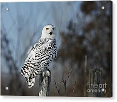 Sitting On The Fence- Snowy Owl Perched Acrylic Print by Inspired Nature Photography Fine Art Photography
