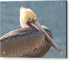 Sitting Pretty Pelican Acrylic Print by Bob and Jan Shriner