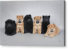 Six Little Chow Chow  Puppies Portrait Acrylic Print by Waldek Dabrowski