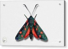 Six Spot Burnet Butterfly - Zygaena Filipendulae Naturalistic Painting - Nettersheim Eifel Acrylic Print
