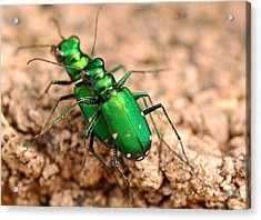 Six-spotted Tiger Beetle Mating Acrylic Print by Janet Hawkins